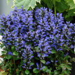 ajuga blue beauty flower