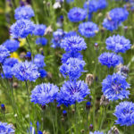 blue cornflower flowers