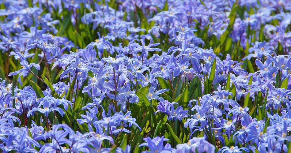 spring flower chionodoxa luciliae