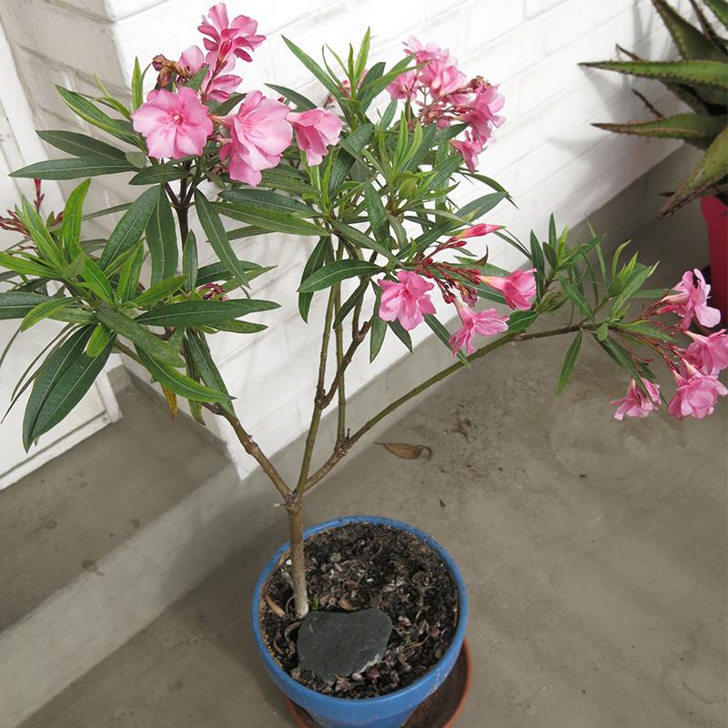 indoor oleander flower in pot