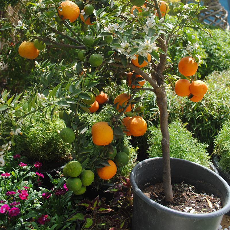 indoor orange tree in pot