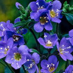 polemonium jacobs ladder flower